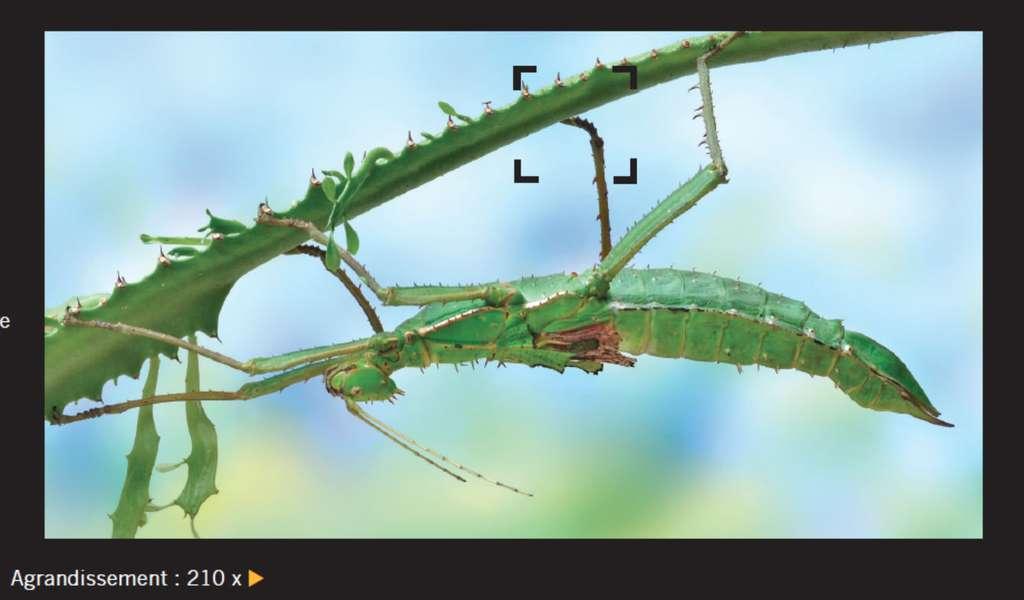 Le phasme est un exemple d'insecte doté d'un exosquelette. À droite, l'extrémité de la patte d'un phasme agrandie 210 fois. On distingue deux crochets et l'exosquelette qui joue le rôle de capsule protectrice. © Giles Sparrow, Dunod, DR
