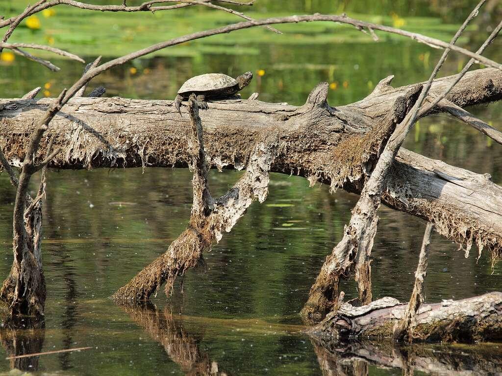 Cistude d'Europe. La queue des femelles peut être aussi longue que la carapace. © Flickr, HermannFalkner, sokol, cc by nc sa 2.0
