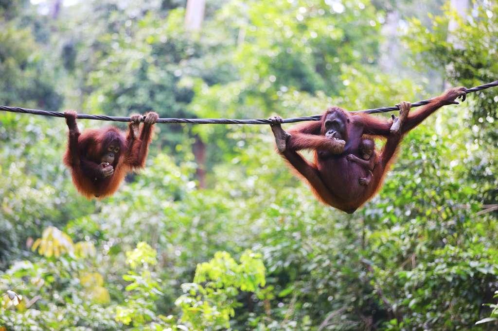 Des orang-outans à Sabah, sur l'île de Bornéo. Ces grands primates sont, comme nous, des animaux sociaux aux interactions interindividuelles complexes. © shalamov, Istock.com