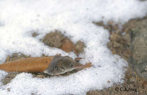 Sorex minutus, musaraigne pygmée. © Toute reproduction et utilisation interdites