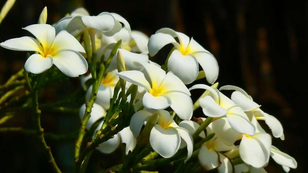Bouquet de fleurs blanches du Plumeria