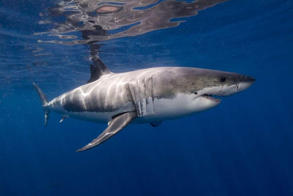 Face à un requin, ne paniquez surtout pas. © Ken Bondy, Flickr