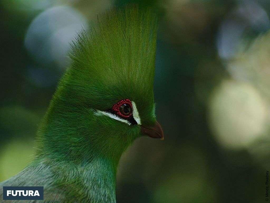 Tauraco perso ou l'oiseau de l'Eden vit en Afrique Occidentale