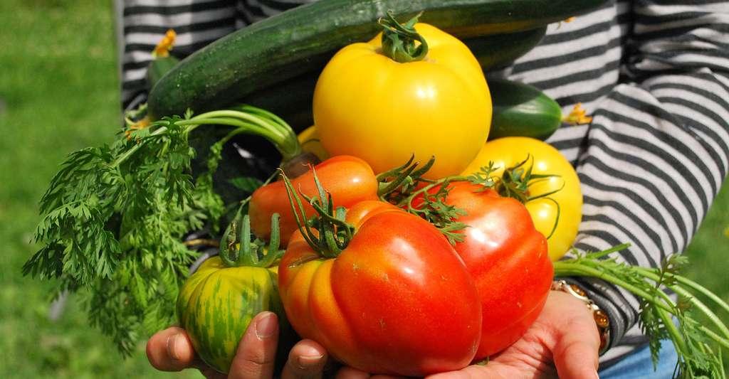 Les délicieuses tomates du jardin ! © Jf Gabnor, Pixabay, DP