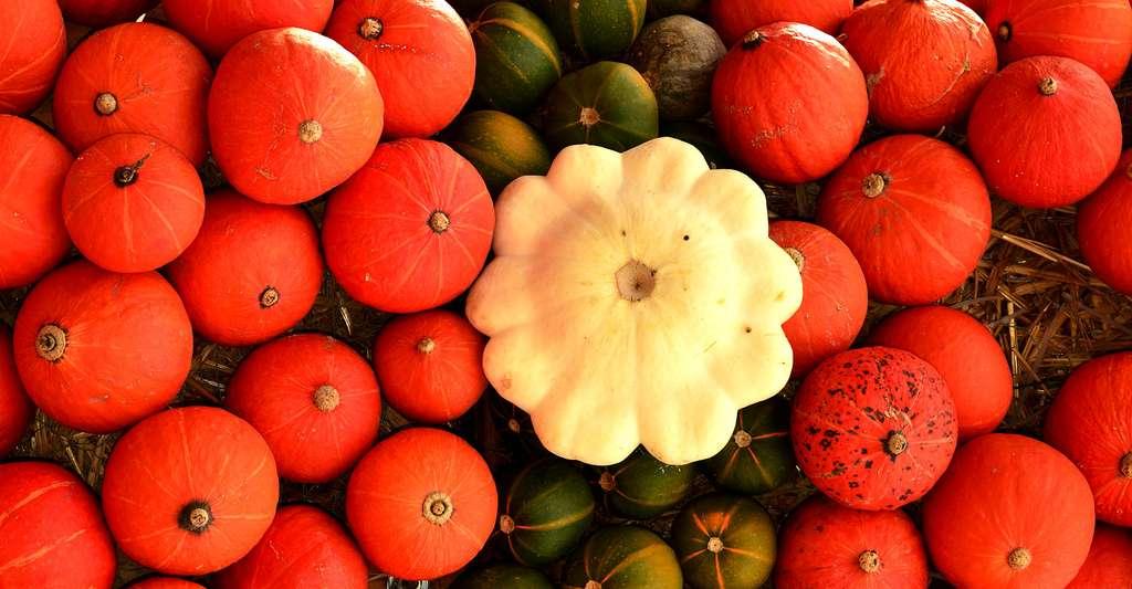 Les pâtissons font partie des cucurbitacées. © Roland Zh, CC by-sa 3.0
