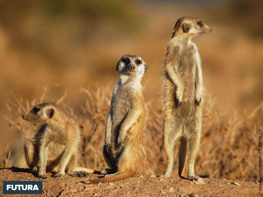 Le suricate (Suricata suricatta) surnommé « sentinelle du désert »