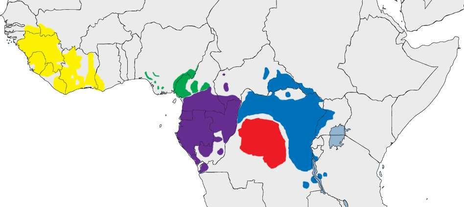 La répartition des bonobos (Pan paniscus) en Afrique, en rouge. Les autres couleurs indiquent les lieux de vie des chimpanzés communs Pan troglodytes (avec quatre sous-espèces). © Cody.pope, Wikimedia Commons, DP