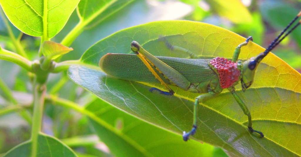 Le chant des cigales n'est pas produit par le frottement de deux parties de leur corps, comme c'est le cas pour le criquet, ici en image. © Kondah, Wikipedia, CC by-sa 4.0