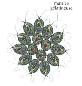 La pandorine est une algue unicellulaire. © DR