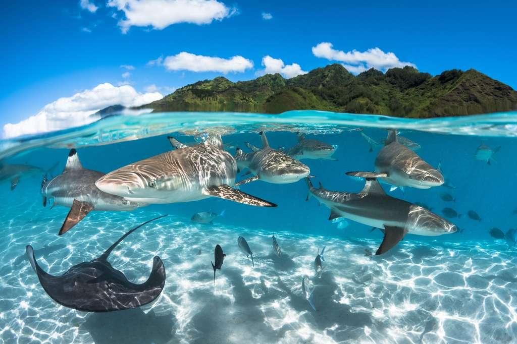 Requins à pointe noire dans le lagon Moorea, près de Tahiti