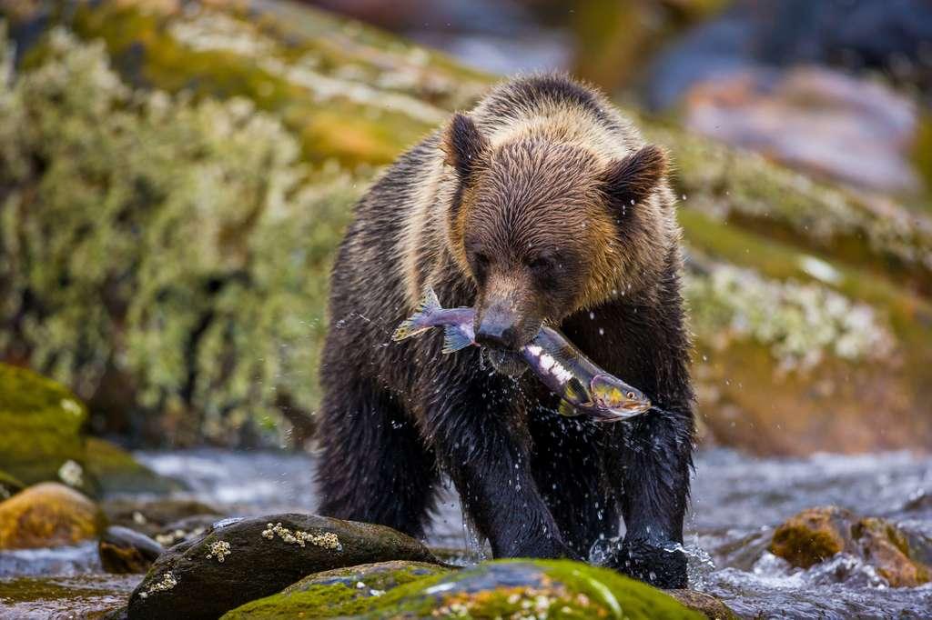 Le Grizzly est en voie de disparition, principalement en raison de la chasse aux trophées. © macs, fotolia