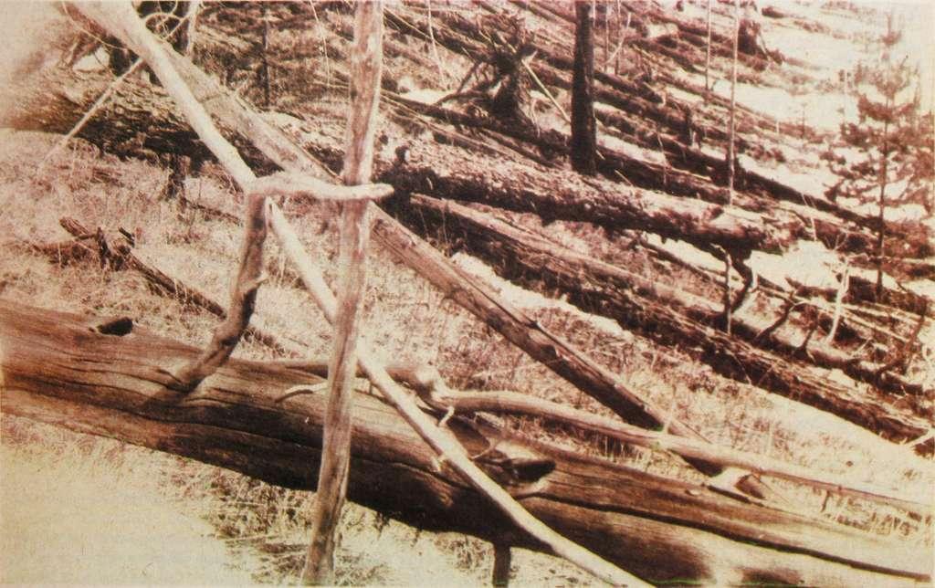 Pins couchés découverts plus de 10 ans après l'explosion d'un astéroïde dans la région de Toungouska. © Domaine public