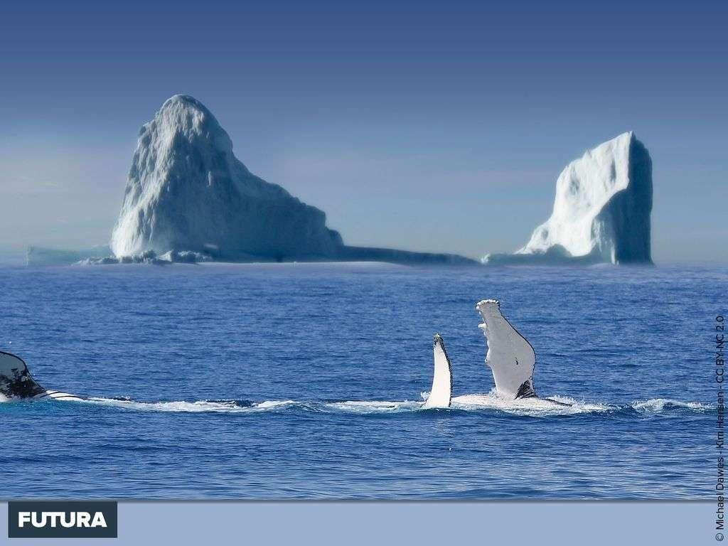 Baleines jouant entre les icebergs