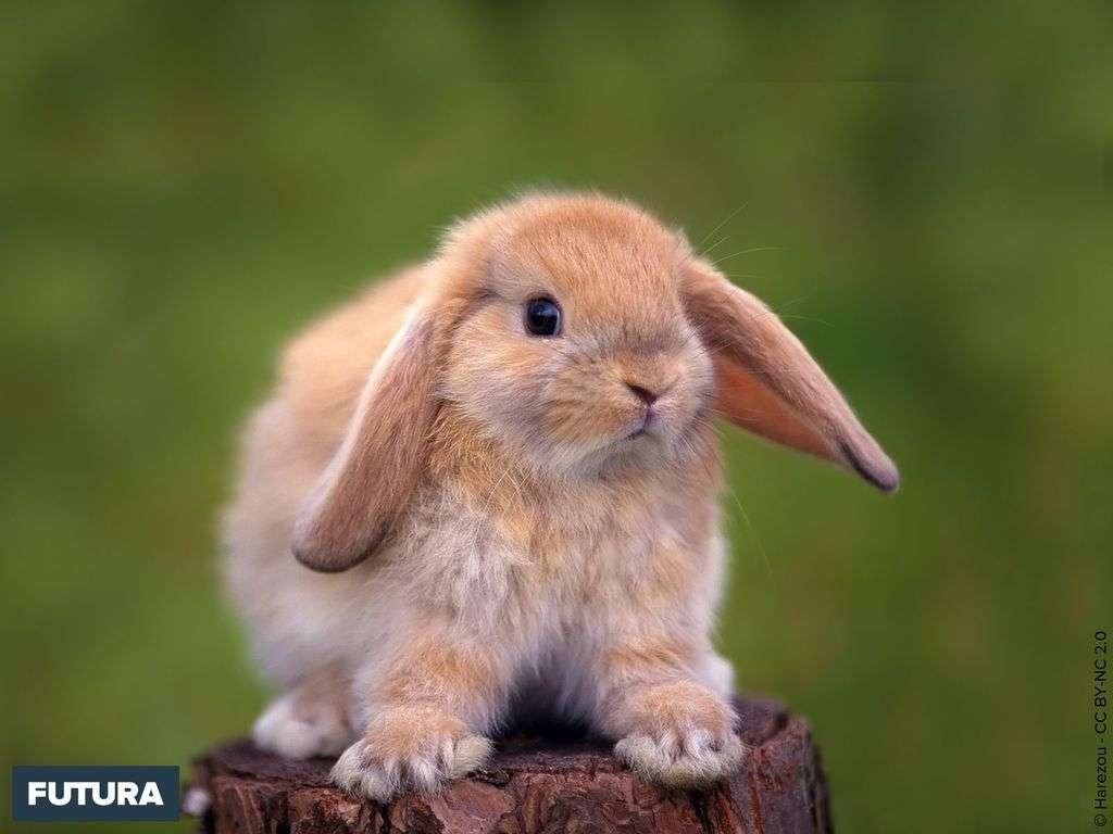 Jeune lapin angora