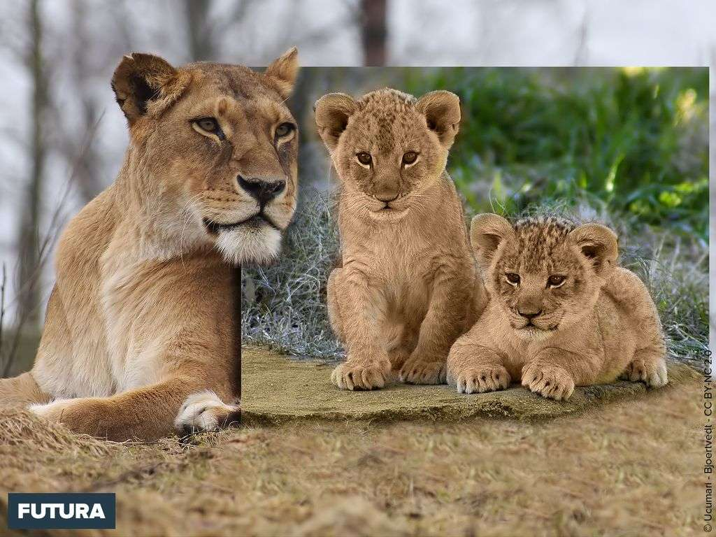Lion : portrait de famille