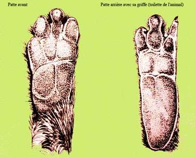 Schémas des pattes. © Domaine public
