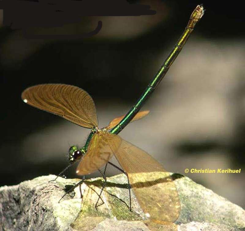Caloptéryx vierge femelle et le dimorphisme sexuel chez les libellules