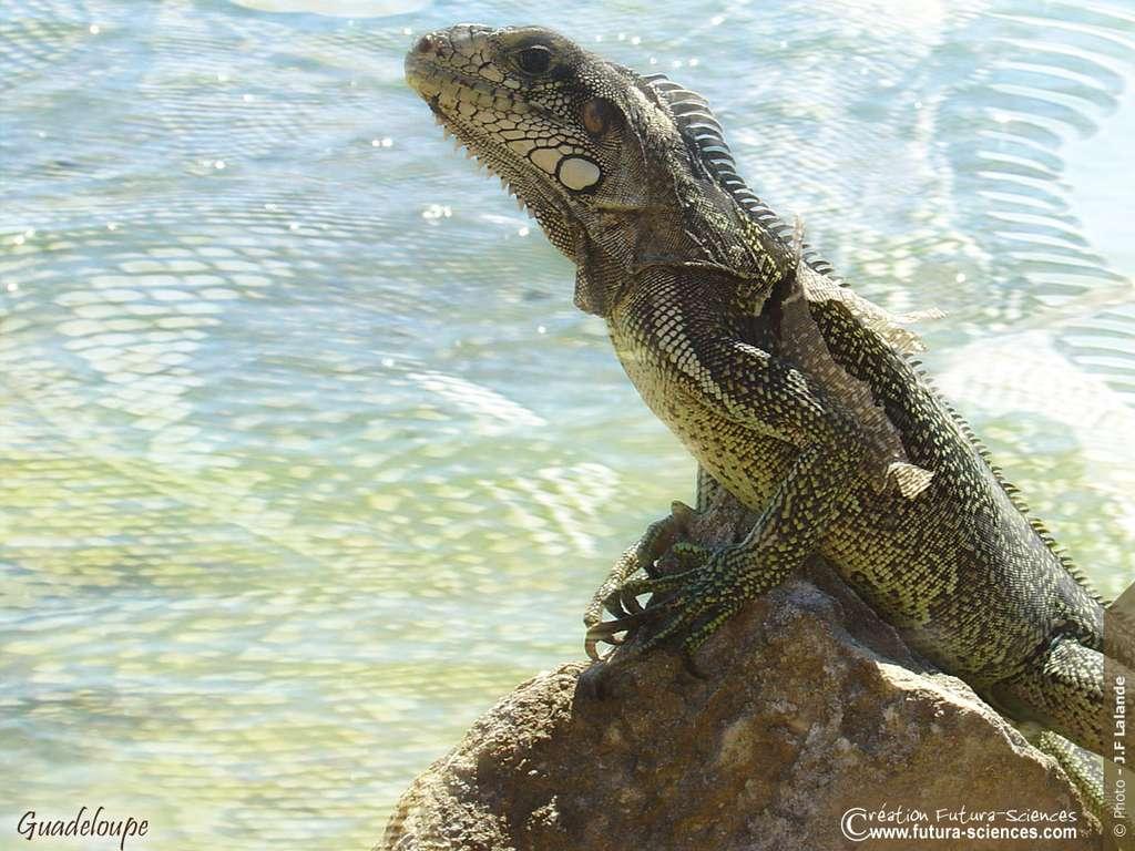 Guadeloupe, Iguane commun