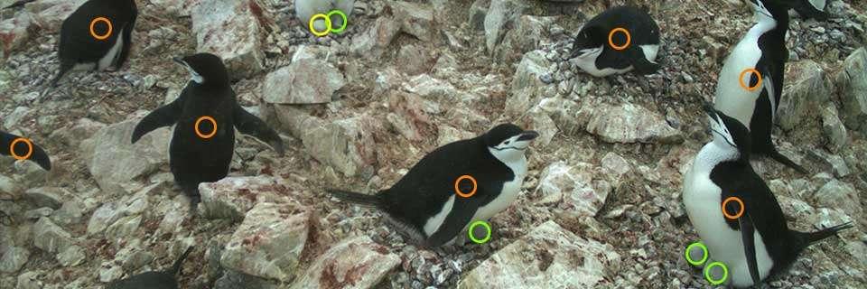Un cercle orange pour les adultes, vert pour les poussins et jaune pour les œufs à faire glisser sur l'image d'un mouvement de souris : c'est le travail de l'internaute. © Penguin Watch