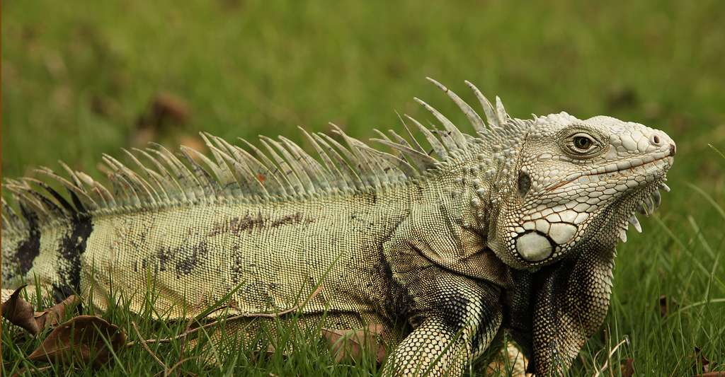 Iguana iguana vert. © Ed Ivanushkin, Wikimedia commons, CC by-sa 2.0