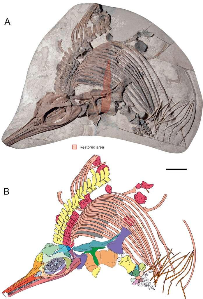 Le fossile de Thalassodraco etchesi découvert en 2009. © Megan L. Jacobs, David M. Martill. PLoS One