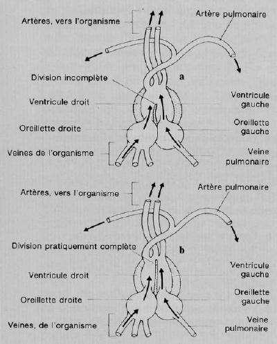 Cœur et circulation cardiaque des reptiles. © Domaine public