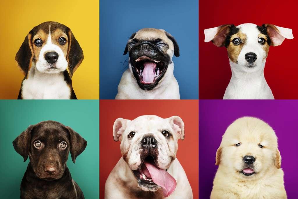 Les chiens ne se servent pas des mêmes zones de leur cerveau pour reconnaître les visages de leurs congénères et ceux des humains. © Rawpixel.com, Adobe Stock