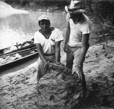 César Cruz et Peter Matthiessen avec le maxillaire de Purussaurus, Rio Mapuya (photo extraite du livre, « The Cloud Forest » de Peter Matthiessen, 1961) . Reproduction et utilisation interdites