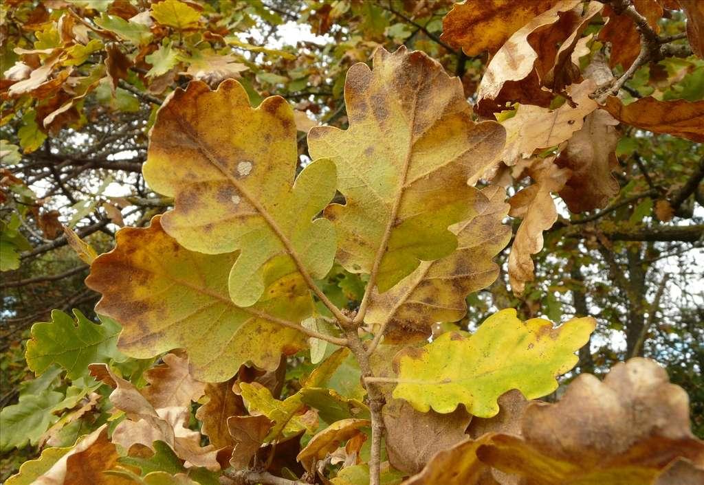 Le chêne pubescent présente des poils sur la partie inférieure de ses feuilles. © dianesfra, Flickr CC 3.0 unported
