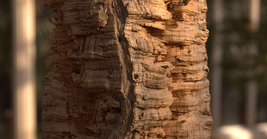 Le liège est un ensemble de cellules mortes, constituant l'écorce des chênes liège. Il fait partie des tissus de protection. © Martin Olsson, Wikimedia commons, CC by-sa 3.0