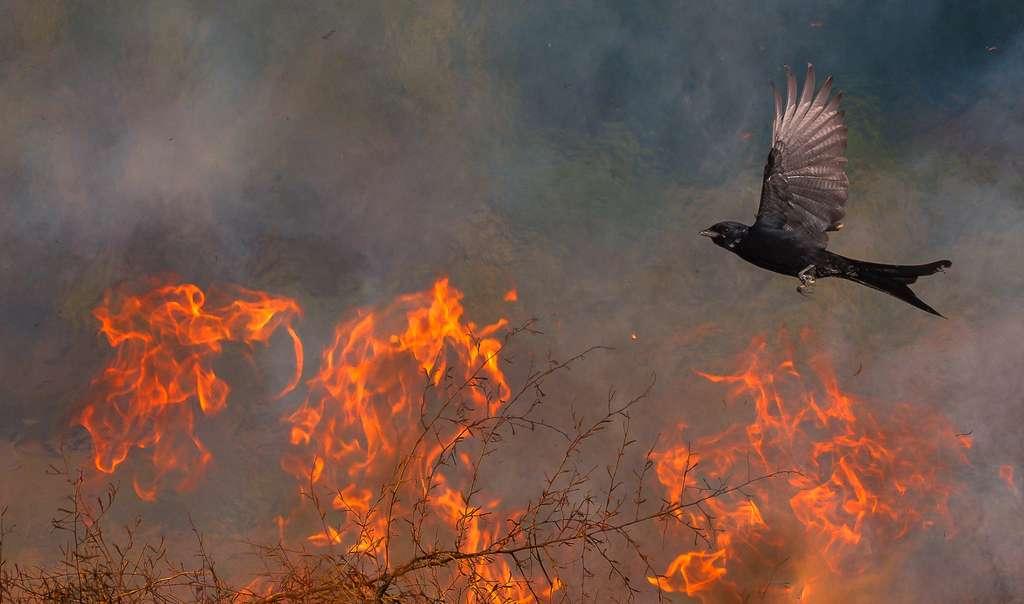 Phoenix, Inde. © Nature TTL / Saptarshi Gayen