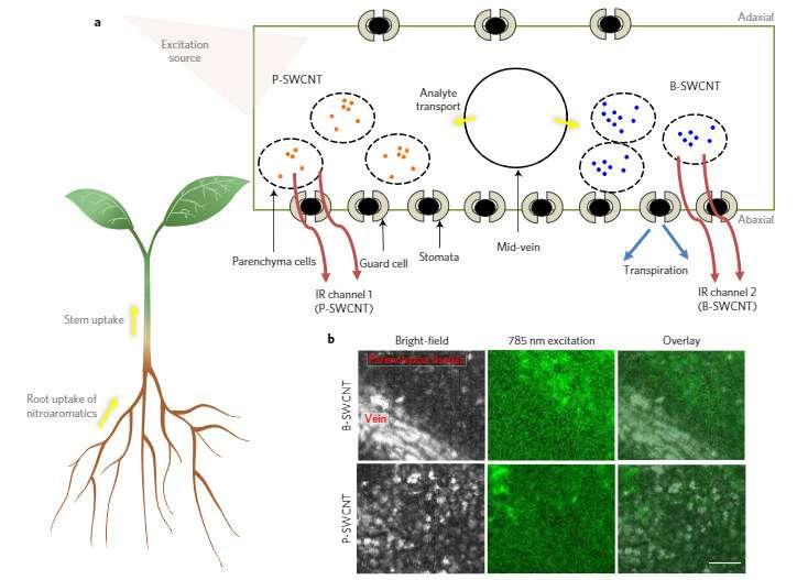 Les nanoparticules de dimension inférieure à 10 nm sont de taille proportionnelle aux protéines et autres macromolécules qui composent les plantes vivantes. © Nature