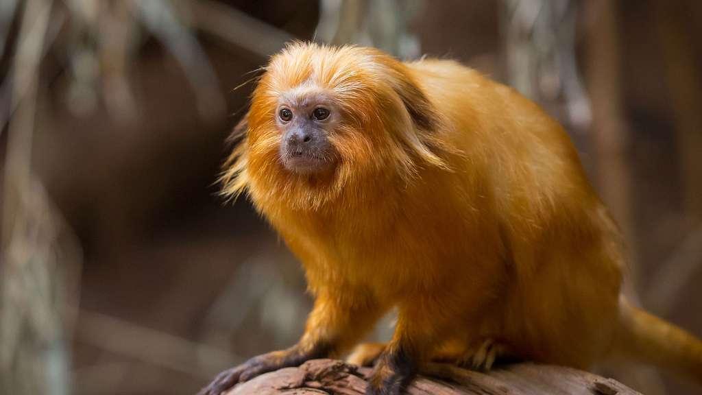 Un singe doré en danger