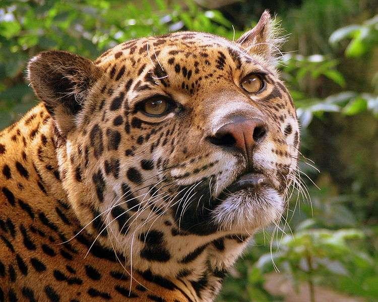Jaguar. © Pascal Blachier, Creative Commons Attribution 2.0 Generic license