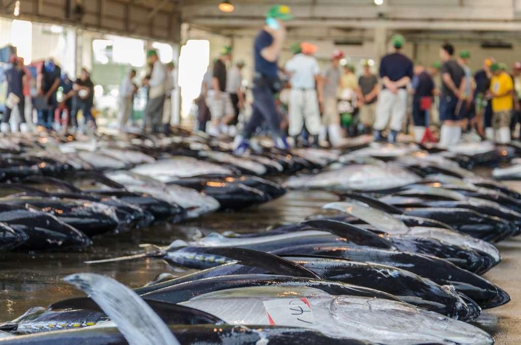 Des prélèvements pour des analyses d'ADN sont effectués sur les marchés aux poissons afin de lutter contre la pêche et le commerce illégal des espèces soumises à des quotas. © Mario, Adobe Stock