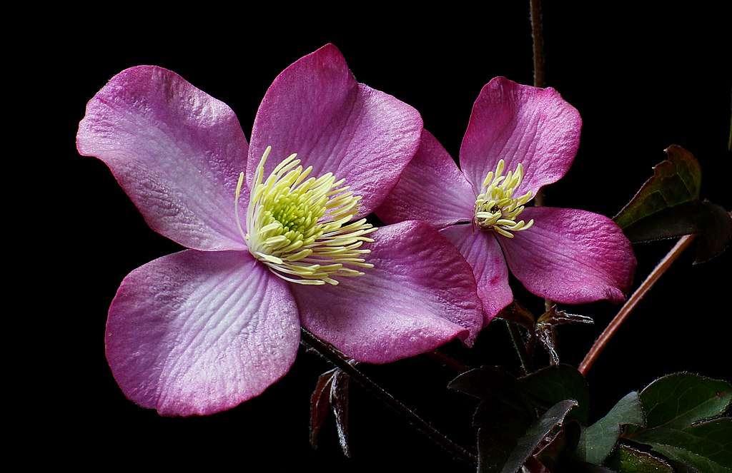 « Clematis Elizabeth » a des fleurs rose pâle parfumées à la vanille en abondance au printemps avec quelques répétitions à la fin de l'été. Un feuillage sombre et riche complète les fleurs et a fière allure tout l'été. © Bernard Spragg. NZ, Wikimedia Commons, DP
