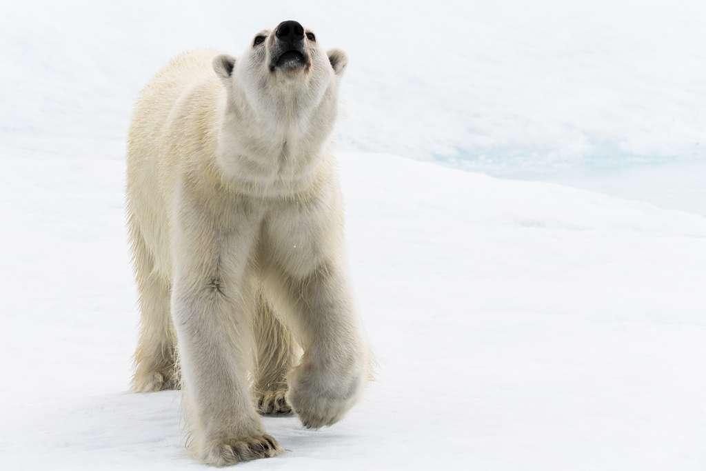 Un ours curieux en approche