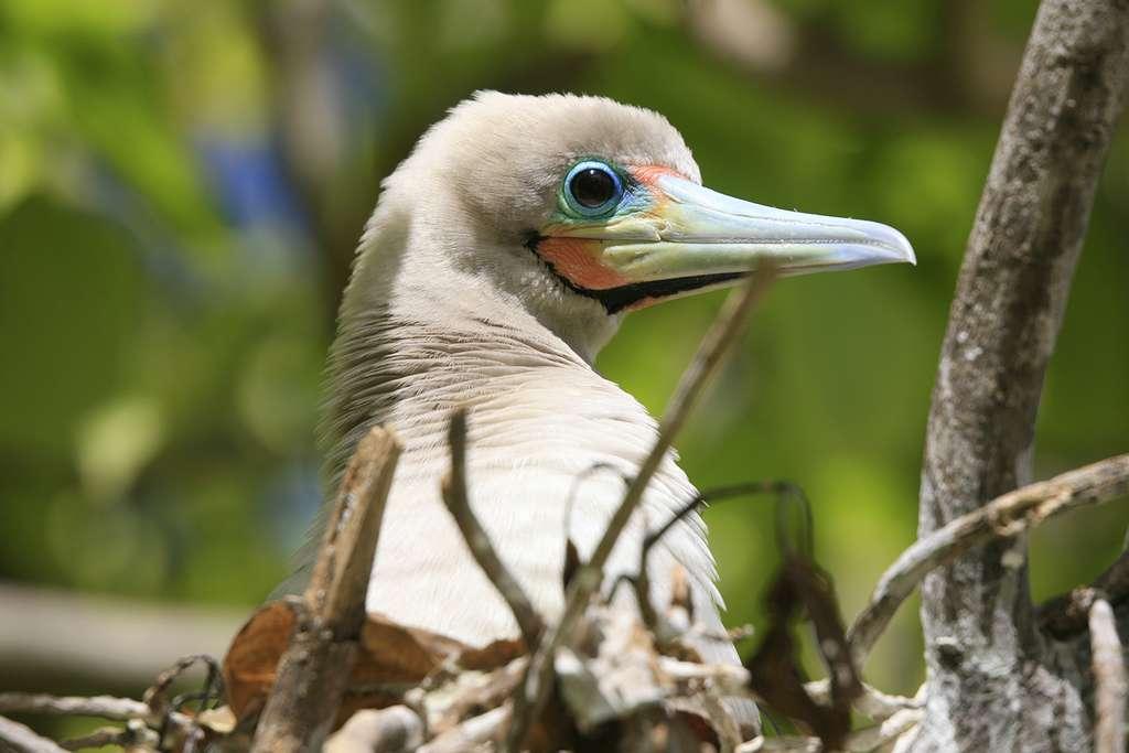 Fou à pieds rouges. Cette espèce niche sur les îles et les côtes océaniques tropicales. Elle hiverne en mer, et il est donc rare de l'observer loin des sites de reproduction, où les individus se rassemblent en grandes colonies. L'œuf unique, de couleur bleu pâle, est pondu dans un nid de branchages sur un arbre. Il est couvé par les deux parents pendant 44 à 46 jours. Le jeune oiseau peut attendre jusqu'à trois mois avant de voler pour la première fois, et jusqu'à cinq mois avant de faire véritablement de longs vols. © Antoine