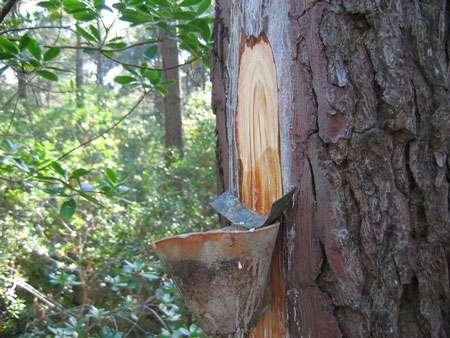Le gemmage est une opération qui consiste à « blesser » un pin pour qu'il envoie de la résine afin de cicatriser cette blessure. Le métier de résinier a disparu de la forêt des Landes de Gascogne en 1990. © DR