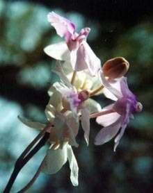 L'Holcoglossum amesianum n'hésite pas à faire décrire à son organe mâle une rotation de 360 degrés pour parvenir à ses fins : la pollinisation ! (Courtesy of LaiQiang Huang, Tsinghua University Graduate School at Shenzhen)