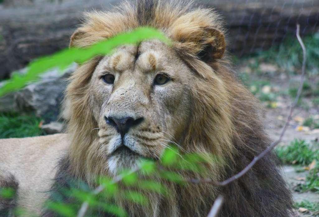 Le lion d'Asie. © Patrick Straub