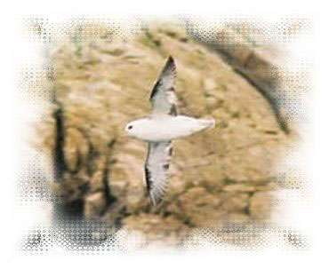 Fulmar Boréal - littoral85.com ©2003
