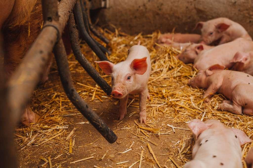 Les cochons ont été choisis pour cette expérience car ils possèdent un système digestif relativement proche du nôtre. © volf anders, Fotolia