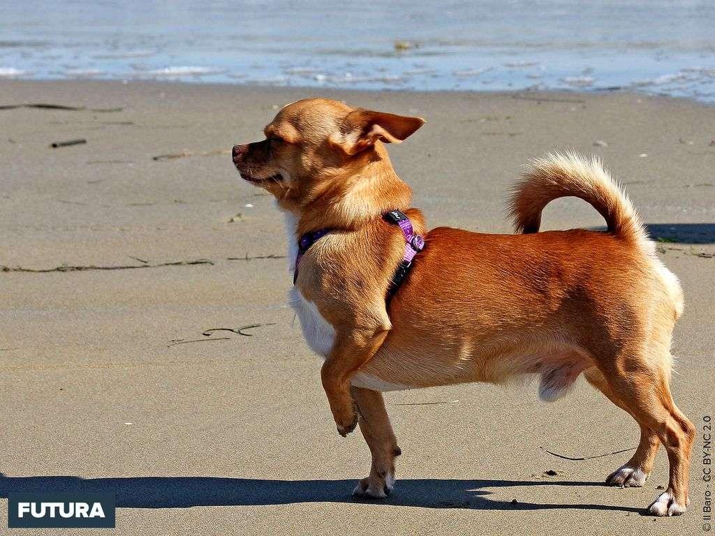 Chihuahua petit chien mexicain
