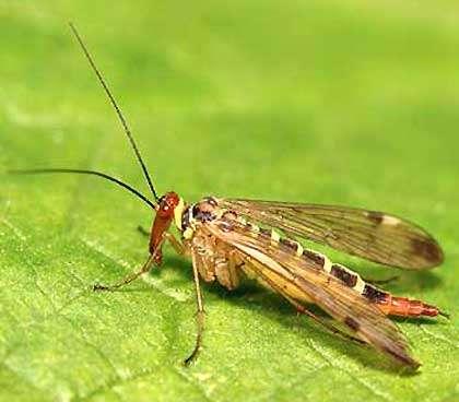 Hyménoptère Mouche-scorpion Reproduction et utilisation interdites