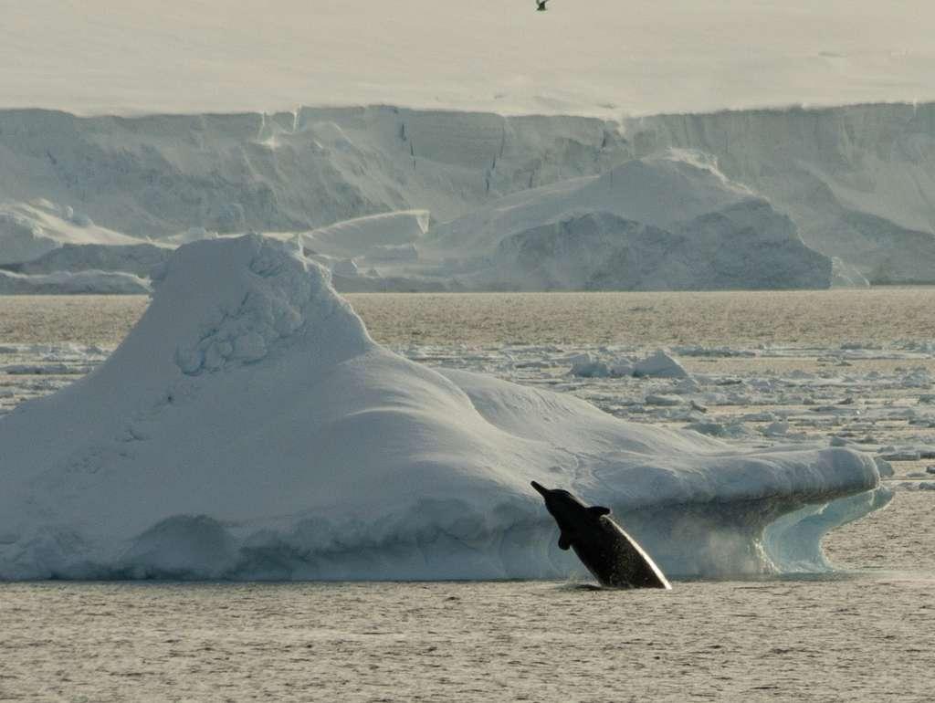 Les baleines à bec d'Arnoux, Berardius arnuxii, peuvent mesurer jusqu'à 9 m et ont un comportement grégaire. Elles nagent jusqu'à 7 km sous la couverture de glace et se trouvent partout dans le Pacifique Sud. © Soler97, cc by-sa 3.0