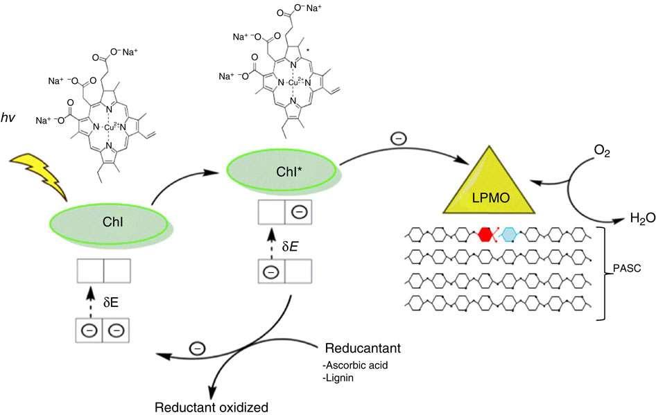Schéma du mécanisme proposé pour la photosynthèse inverse. La lumière excite le pigment (Chl), qui, dans son état excité, transfère un électron à l'enzyme LPMO. Cet électron réduit le cuivre de l'enzyme qui oxyde le polysaccharide. L'oxydation consomme de l'oxygène (O2), oxyde du carbone et produit de l'eau (H2O). © Cannella et al. 2016, Nature Communications