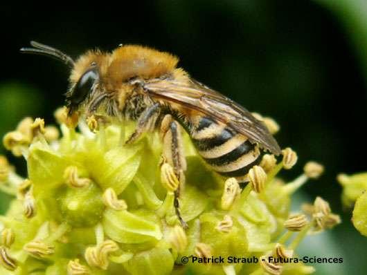 Abeille terricole (Halictus sexcinctus). © Reproduction et utilisation interdites