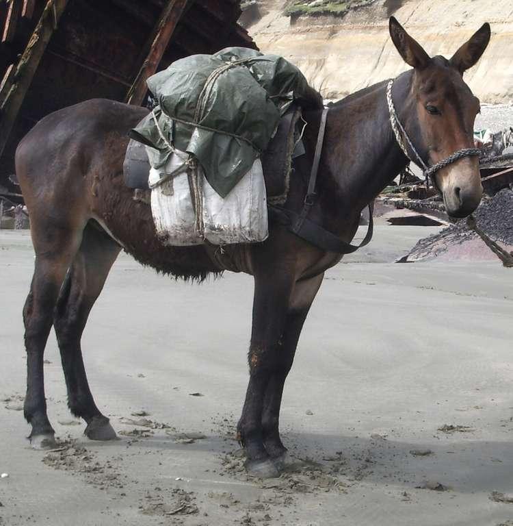 Un mulet de bât, beaucoup utilisé en montagne. Issus de l'accouplement d'un âne et d'une jument, les mulets ne sont pas fertiles. © Dario u, Wikipédia, DP
