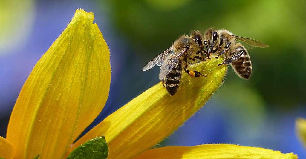 Comment fonctionne la communication chez les abeilles ? © Oldiefan, CCO